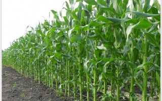 Технология возделывания кукурузы на силос: требования к почве