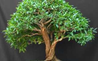 Серисса вариегатная (японская): фото, уход за растением в домашних условиях