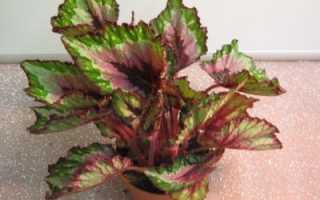 Родина растения бегонии: происхождение и внешний вид, популярные сорта уход в домашних условиях
