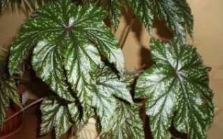 Клубневая бегония — зимовка растения, фото и видео