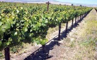 Капельный полив виноградника: способы организации