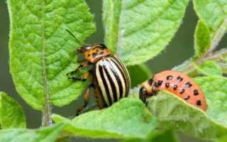 Колорадский жук – меры борьбы и профилактики