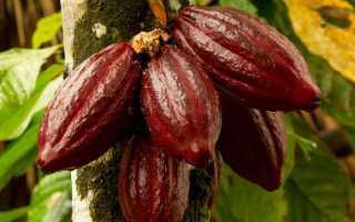 Какао-бобы (49 фото): где растут деревья, польза и вред для здоровья, как выглядят сырые и как употреблять