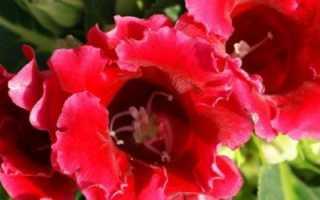 Глоксиния отцвела: что делать и уход за растением после цветения