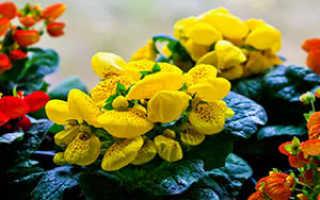 Цветок кальцеолярия: виды и фото, выращивание из семян и черенков, особенности ухода в домашних условиях