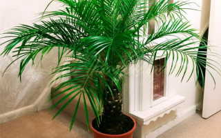 Цветок как пальма: похожие, разновидности, как ухаживать, как называются
