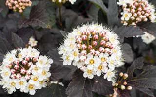 Цветок пузыреплодник: посадка и уход, фото, обрезка, размножение, виды и сорта