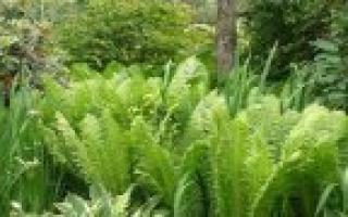 Папоротник орляк обыкновенный: где растёт и как размножается, использование растения в кулинарии и медицине