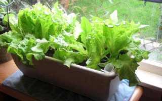 Салат: выращивание из семян на подоконнике, как посадить в домашних условиях