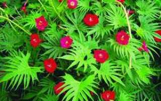Как выращивать и ухаживать за квамоклитом?