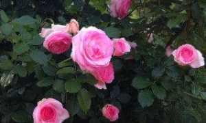 Все о плетистой розе Пьер де Ронсар: описание, посадка , уход и использование в саду