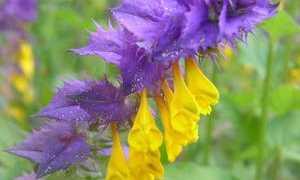 Иван да марья фото цветок – полезные свойства цветка иван да марья для человека
