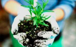 Розмарин: выращивание в открытом грунте в саду, на даче, уход
