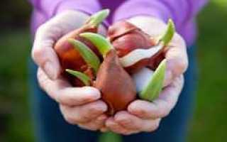 Как хранить луковицы тюльпанов зимой в домашних условиях