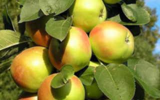 Колоновидная яблоня Янтарное ожерелье: описание сорта
