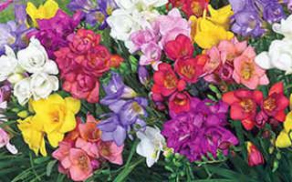 Фрезия: посадка и уход в открытом грунте, выращивание и уход в саду за цветком, фото, как вырастить махровую и гибридную фрезию