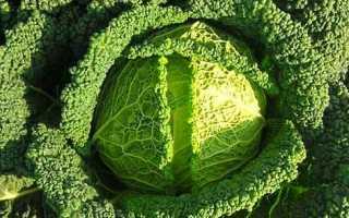 Савойская капуста: выращивание и уход в открытом грунте, фото и видео по теме