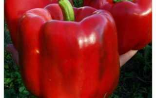 перец геракл: отзывы садоводов, урожайность сорта, характеристика и описание с фото