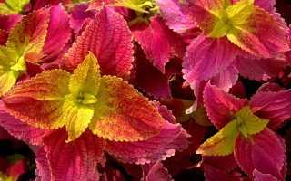 Цветок колеус (39 фото): гибридный, Блюме, Визард, уход в домашних условиях, родина комнатного, выращивание из семян