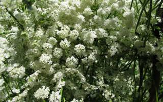 Анис обыкновенный – полезные свойства для нашего здоровья