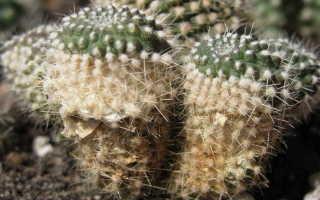Болезни кактусов: фото, названия заболеваний, как лечить в домашних условиях комнатные кактусы