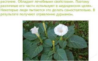 Дурман обыкновенный: свойства и описание растения, история цветочной травы, виды дурмана и фото