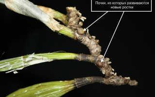 Орхидея Каттлея: сорта, уход, болезни и реанимация в домашних условиях