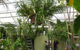 Самая большая орхидея в мире: внешние особенности растения, уход в домашних условиях, а также фото цветка