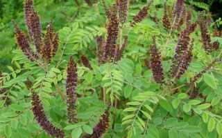 Аморфа кустарниковая – описание, полезные свойства, медоносность, особенности перги, выращивание