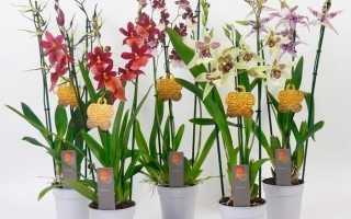 Орхидея Камбрия (Cambria): описание вида, подсорта с названиями и фото цветка, уход в домашних условиях