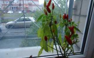 Перец чили: фото, вред и польза, выращивание в домашних условиях на подоконнике