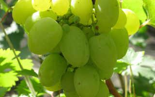 """Описание столового сорта винограда """"Белый великан"""", таблица, фото и видео"""