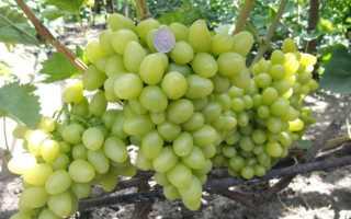 Бурдак его сорта винограда описание: клеопатра, каталония характеристики