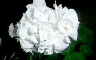 Герань комнатная – фото, виды, уход, размножение, польза цветов