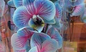 Как сделать синюю орхидею в домашних условиях, чем красят белые бутоны и видео, как получают крашенный цветок?