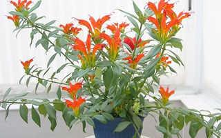 Комнатный цветок эсхинантус: фото, уход и размножение в домашних условиях, болезни и вредители