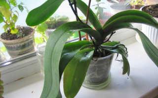 Почему орхидея не цветет и что делать чтобы она зацвела