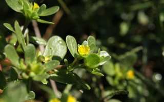 Портулак огородный – лечебные свойства, польза и вред