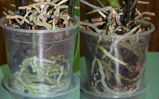 Чем и как правильно поливать орхидею в домашних условиях: видео полива и состав воды