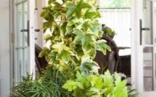Цветок фатсхедера: фото растения, уход за лианой в домашних условиях, правила размножения и посадки