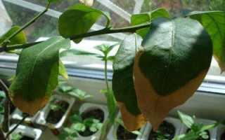 Почему лимон сбрасывает листья и что делать: основные болезни и вредители, способы борьбы с ними