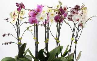 Белая тля: как бороться на комнатных растениях, фото вредителя, нюансы обработки орхидей в домашних условиях