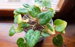 Цикламен – желтеют листья: что делать и почему вянет цветок (основные причины)