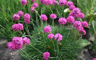 Армерия приморская: посадка и уход, фото, размножение сорта, выращивание в открытом грунте и сочетание в ландшафтном дизайне