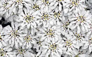 Цветок иберис: посадка и уход в открытом грунте, фото, выращивание из семян