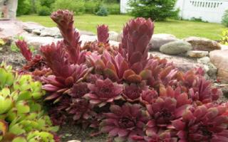 Молодило – посадка и уход в открытом грунте, посадка с другими цветами
