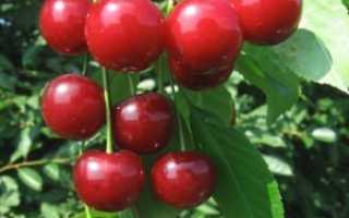 Вишня Десертная Морозовой: описание сорта, фото, отзывы, вкус плодов, опылители
