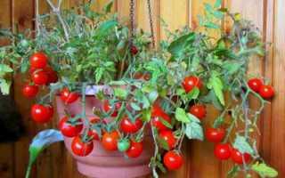 Комнатные помидоры: 9 популярных сортов, декоративные томаты, как выращивать