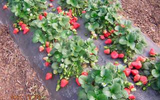 Выращивание клубники в открытом грунте: пошаговая инструкция по посадке и уходу