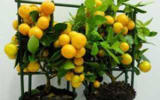 Каламондин (цитрофортунелла): описание, опадают листья что делать